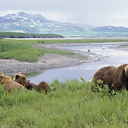 Alaskan Brown Bear (Ursus middendorffi) sow and cubs resting above a river.
