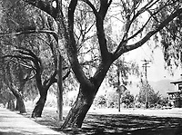 1901 Pepper trees on Hollywood Blvd. at Wilcox Ave.