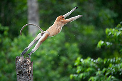 A proboscis monkey jumps at Labuk bay, on August 5, 2019 near Sandakan city, State of Sabah, North of Borneo Island, Malaysia. Palm oil plantations are cutting down primary and secondary forests vital as habitat for wildlife including the critically endemic proboscis monkeys. Photo by Emy/ABACAPRESS.COM