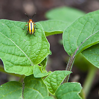Striped cucumber beetle (Acalymma vittatum)