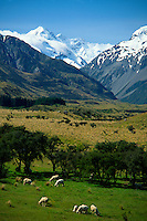 Sheep grazing in the Tasman Valley with Mt. Cook in background, South Island, New Zealand