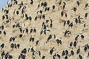 A nesting colony of Antarctic Shag (Phalacrocorax bransfieldensis) on a cliff. Paulet Island, Antarctic Peninsula. Antarctica. 02Mar16