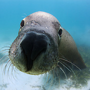 Inquisitive male Australian sea lion (Neophoca cinerea) pushing its nose into the camera lens. Sea lions use their noses to poke and investigate things, as well as to greet and play with one another in the water.