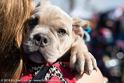 Puppy at the RSD Moto Beach Classic. Huntington Beach, CA, USA. Saturday October 27, 2018. Photography ©2018 Michael Lichter.