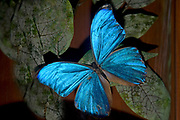 Blue Morpho butterfly close up, Costa Rica