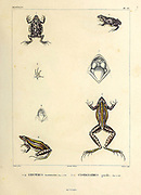 Brown-spotted Dwarf Frog (Leiuperus marmoratus) (Left) and Cystignathus gracilis hand coloured sketch From the book 'Voyage dans l'Amérique Méridionale' [Journey to South America: (Brazil, the eastern republic of Uruguay, the Argentine Republic, Patagonia, the republic of Chile, the republic of Bolivia, the republic of Peru), executed during the years 1826 - 1833] Volume 5 Part 1 By: Orbigny, Alcide Dessalines d', d'Orbigny, 1802-1857; Montagne, Jean François Camille, 1784-1866; Martius, Karl Friedrich Philipp von, 1794-1868 Published Paris :Chez Pitois-Levrault. Publishes in Paris in 1847