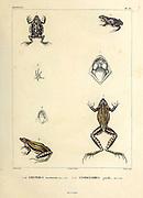 Brown-spotted Dwarf Frog (Leiuperus marmoratus) (Left) and Cystignathus gracilis hand coloured sketch From the book 'Voyage dans l'Amérique Méridionale' [Journey to South America: (Brazil, the eastern republic of Uruguay, the Argentine Republic, Patagonia, the republic of Chile, the republic of Bolivia, the republic of Peru), executed during the years 1826 - 1833] Volume 5 Part 1 By: Orbigny, Alcide Dessalines d', d'Orbigny, 1802-1857; Montagne, Jean François Camille, 1784-1866; Martius, Karl Friedrich Philipp von, 1794-1868 Published Paris :Chez Pitois-Levrault. Publishes in Paris in 1847