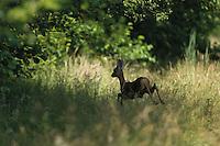 Roe deer (Capreolus capreolus) male. Forest of the Lipovljani fish-pond. Lonjsko Polje Nature Park. Ramsar Site. Sisack-Moslavina county. Slavonia region. Posavina area. June 2009. Croatia.<br /> Elio della Ferrera / Wild Wonders of Europe