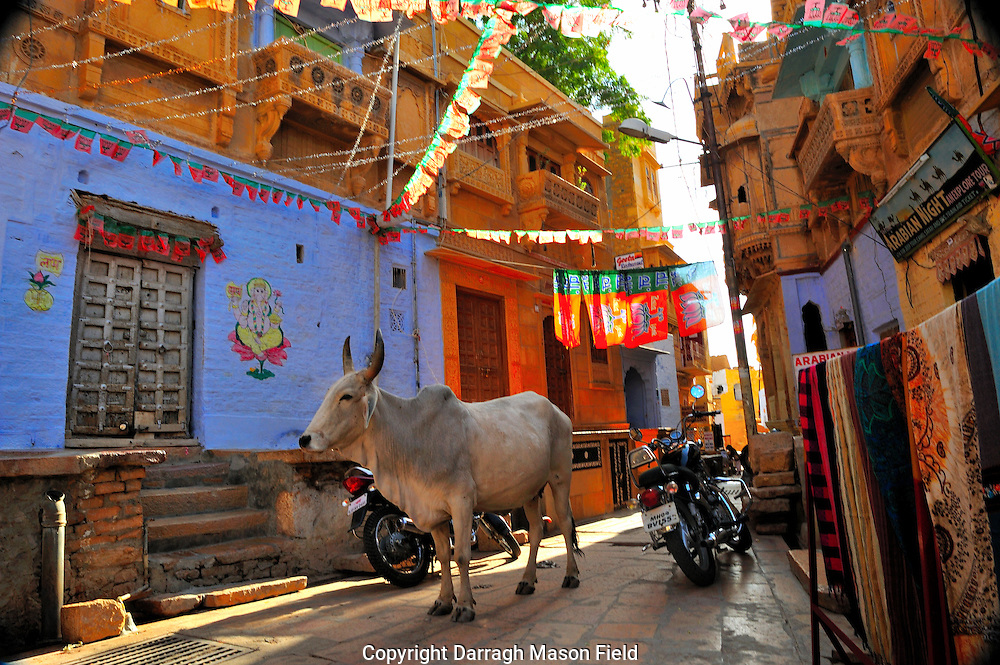 Cow with horns blocking the street in Jaisalmer fort