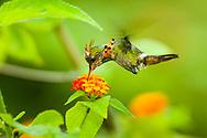 A molting male Tufted Coquette (Lophornis ornatus) in flight, feeding. Trinidad