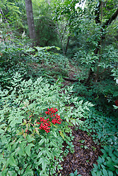 Invasive nandina on Piedmont Ridge Trail, Great Trinity Forest, Dallas, Texas, USA