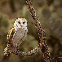 North America, Americas, USA, United States, Arizona. Common Barn Owl Arizona-Sonora Desert Museum.
