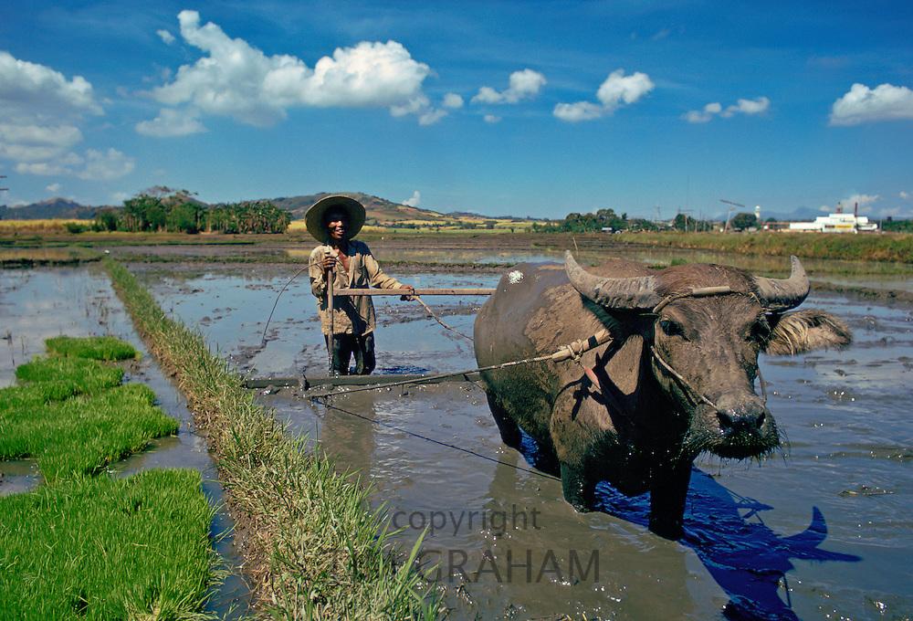 Water Buffalo at work Laguna, Pakistan