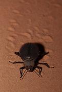 darkling beetle (Prionotheca coronata) photographed in Israel Samar sand dune