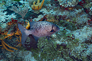 Blue Sea Chub - Caligère bleu (Kyphosus cinerascens), Cozumel, Yucatan peninsula, Mexico.