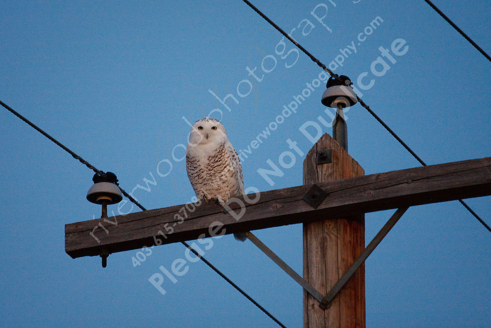 I stopped to shoot some sunset photos in a grain field on my way home tonight.  I was walking back to my truck when I realized that I was parked underneath a beautiful Snowy Owl.  I've spent many hours searching for these elusive birds over the last couple of winters and have only rarely seen them.  It was pretty exciting to be able to watch one so closely!..©2009, Sean Phillips.http://www.Sean-Phillips.com