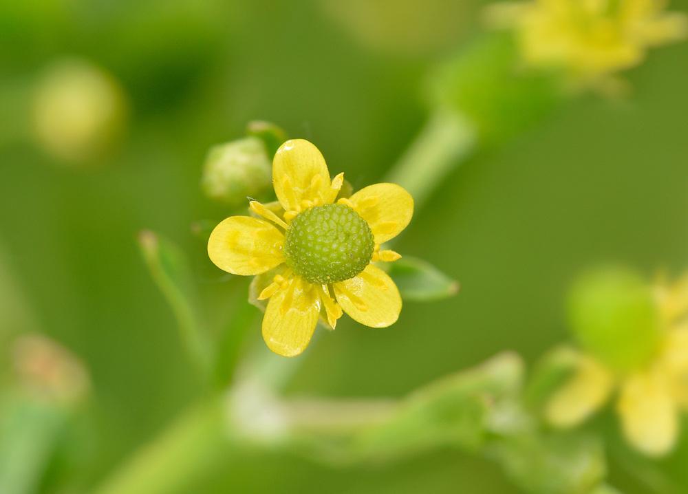 Celery-leaved Buttercup - Ranunculus scleratus