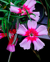 Dianthus Flowers. Image taken with a Fuji X-T3 camera and 80 mm f/2.8 macro lens (ISO 1000, 80 mm, f/11, 1/60 sec)