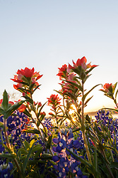 Backlit field of Indian paintbrush (Castilleja indivisa) and bluebonnets (Lupinus texensis) at sunsetl, Ennis, Texas USA.