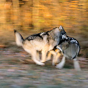 Gray Wolf, (Canis lupus) Show of dominance with another member of the pack. Mnnesota. Captive Animal.