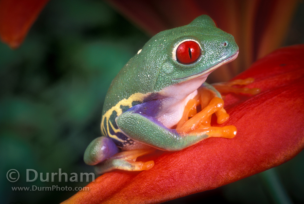 A red-eyed treefrog (Agalychnis callidryas) perched on a tropical flower. Range: tropical rainforests southern Mexico to Pananma.