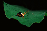 A beetle on a leaf in Sierra Madre National Park, Luzon, Philippines.  Sep 01.
