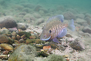 Bluegill (on nest)<br /> <br /> Roger Peterson/Engbretson Underwater Photography