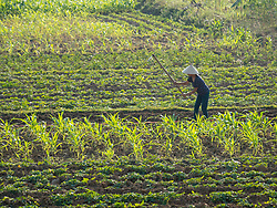 Asia, Vietnam, Pu Luong Nature Reserve. Woman hoeing in a field, wearing conical Non La hat.