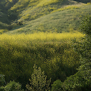Spring flowers in bloom. Santa Monica Mountains. California USA. Wild flowers blooming.<br /> Santa Monica Mountains National Park.<br /> California, USA.
