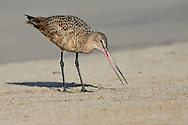 Marbled Godwit - Limosa fedoa - Adult in transition to breeding