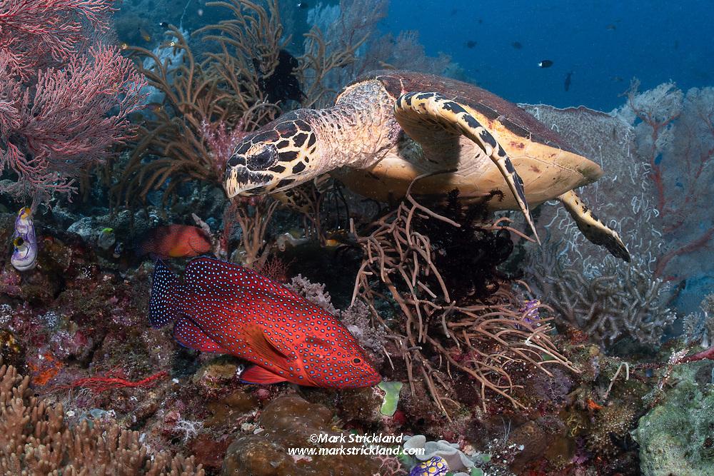 Hawksbill Turtle, Eretmochelys imbricata, and Blue-spotted Grouper, Cephalopholis miniata, Raja Ampat, West Papua, Indonesia