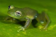 Spiny Cochran Frog, Cochranella spinosa, sitting on leaf, Guayacan, Provincia de Limon, Costa Rica, Amphibian Research Center, tropical jungle, South America, Eye Iris goldish silver with black reticulation.Central America....