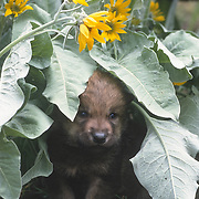 A young gray wolf (Canis lupus) pup in arrowleaf balsamroot flowers, Montana. Captive Animal