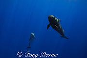 a bottlenose dolphin, Tursiops truncatus, with a short-finned pilot whale, Globicephala macrorhynchus, north Kona Coast, Hawaii, U.S.A. ( Central Pacific Ocean )