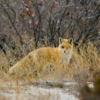 A red fox (Vulpes vulpes) with a full winter coat walks around Sandy Hook National Park in Highlands New Jersey in search of food.  Foxes are a rare sight at the park that was found early in the year before the summer beach crowds arrive.  The small population present in 2008 were euthanized because of an illness they had come down with.
