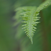 Fern with dew on it in Olympic National Park, Washington.