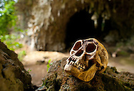 A cast of the skull of LB1, type specimen for Homo floresiensis (aka, the hobbit) in Liang Bua Cave, Flores, indonesia