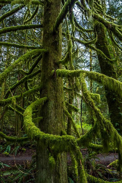 Cedar tree and moss, Tiger Mountain, Washington State, USA.