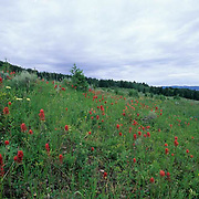 Wildflowers, Indian Paintbrush flowers in meadow in Bridger mountains. Summer. Montana.