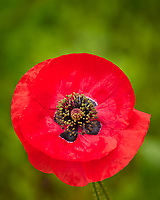 Red or Oriental Poppy flowers. Image taken with a Leica TL-2 camera and 55-135 mm lens.