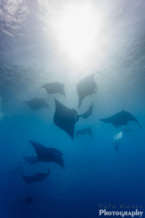 A fever or squadron of a dozen large manta ray, Manta alfredi, schools near the surface in. a gropup feeding behavior