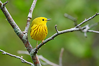 Male American Yellow Warbler (Dendroica petechia) perched in a tree Broad Cove, Nova Scotia, Canada,