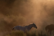 A white horse stood out among a herd of horses that were being driven from pasture to a ranch house in the Tetons.
