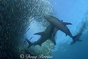 copper sharks or bronze whalers, Carcharhinus brachyurus, feeding in baitball of sardines or pilchards, Sardinops sagax, the Wild Coast, Transkei, South Africa ( Indian Ocean )