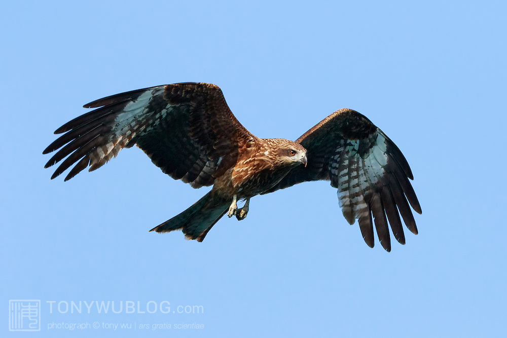 Black-eared kite (Milvus migrans lineatus) in flight. This sub-species of Milvus migrans can be distinguished by a relatively large pale carpal patch. Kochi prefecture, Japan. トビ