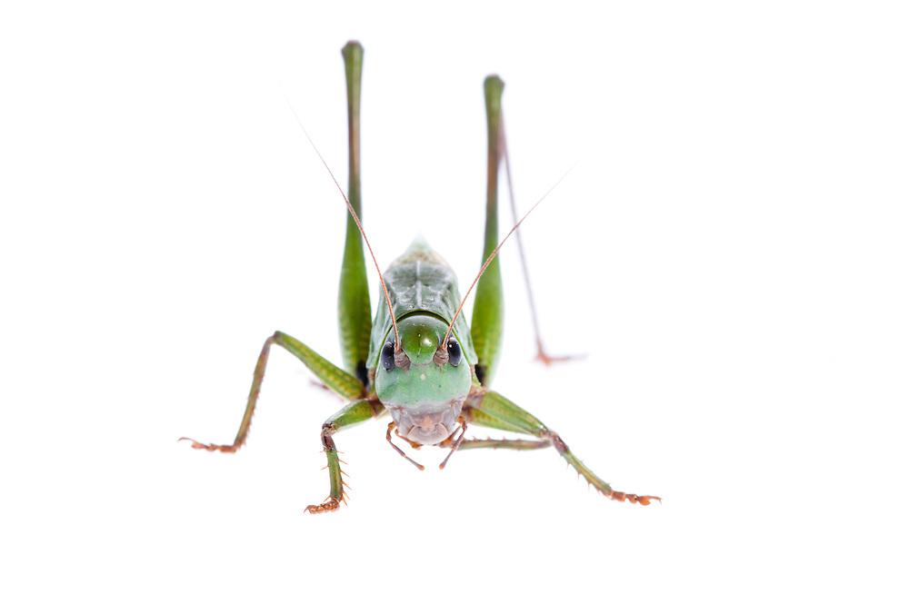 IFTE-NB-007686; Niall Benvie; Decticus verrucivorus; grasshopper; Europe; Austria; Tirol; Fliesser Sonnenhänge; invertebrate insect arthropod; horizontal; high key; green white; controlled; adult; one; upland grassland meadow; 2008; July; summer; backlight strobe; Wild Wonders of Europe Naturpark Kaunergrat