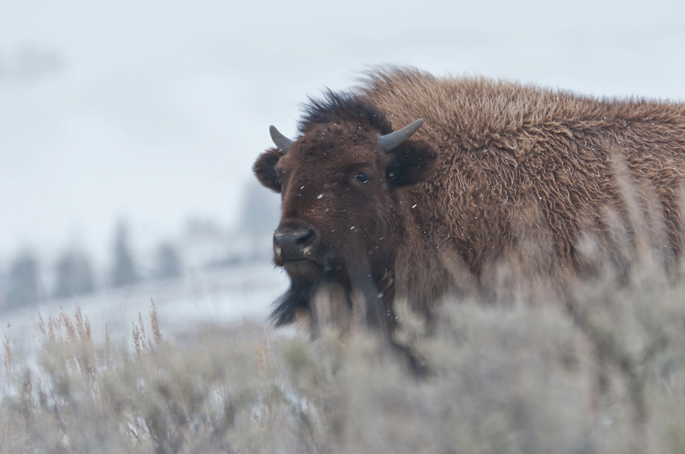 American bison (Bison bison) in Yellowstone National Park, Wyoming.  Photo by William Byrne Drumm.