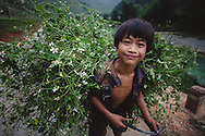 H'Mong boy heads home after gathering grass to feed his cattle, Ha Giang Province, Northern Vietnam, Southeast Asia