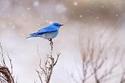 Mountain Bluebird in earlry spring, Montana.