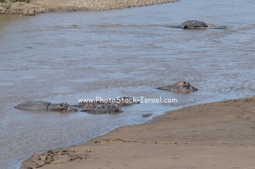 Kenya, Masai Mara, hippopotamus in the Mara river